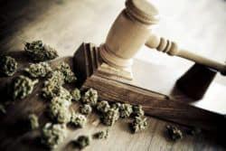 Cannabisausschreibung: Auswertung der Angebote