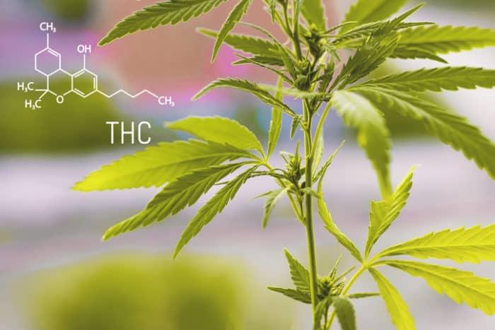 THC medizinisch effektiver als CBD