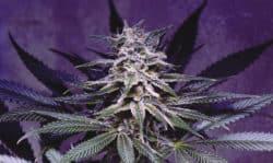 22nd Century: Genetische Entwicklung von Cannabis