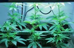 ICC erwirbt kolumbianische Cannabissorten