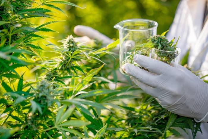 Deutscher Staat investiert in Cannabis-Forschung