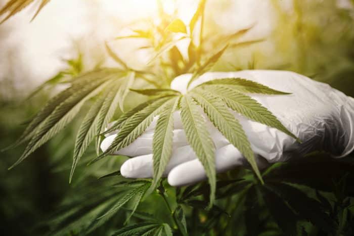 Flavonoide aus Cannabis gegen Schmerzen