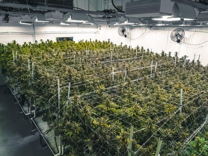 Sondergenehmigung für Cannabis-Anbau