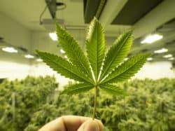 Niederlande erhöhen Medizinalcannabisexporte