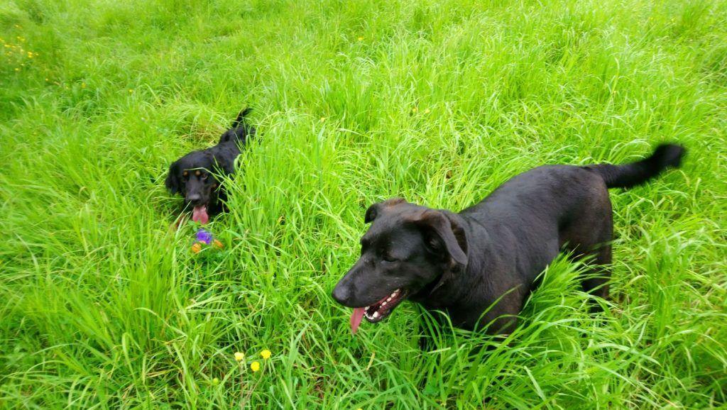 foto perros jugando entre la hierba alta