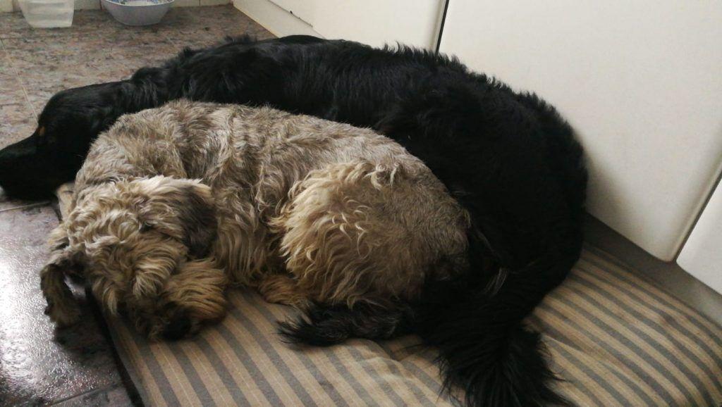 perros tumbados tranquilos, cómo hacer para que tu perro no ladre cuando te vas de casa