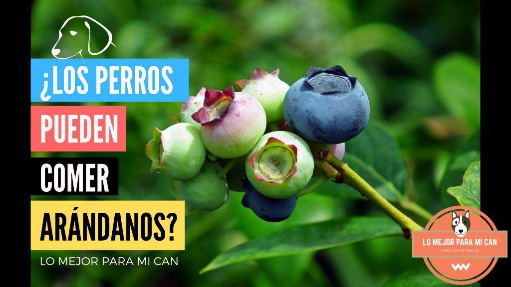 ¿Los perros pueden comer fruta como los arándanos?