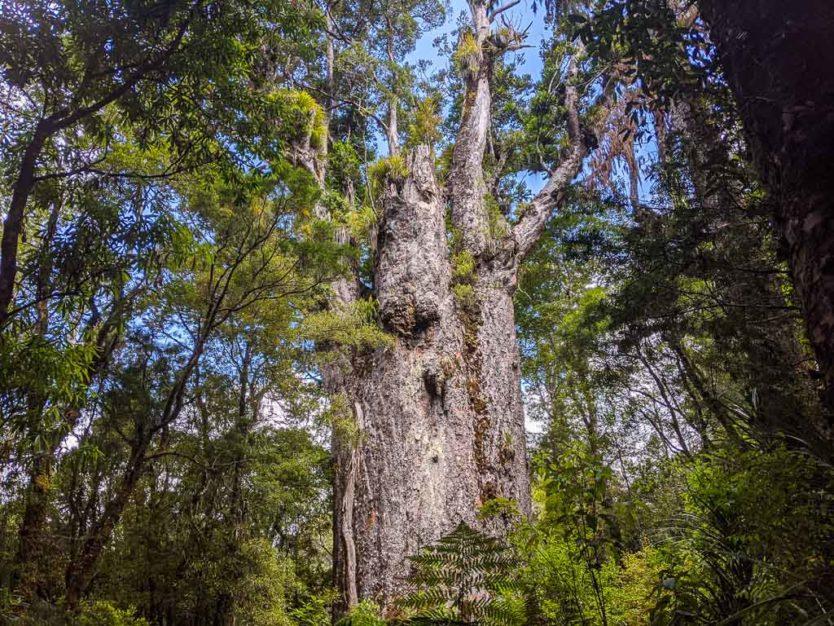 te matua ngahere giant kauri tree in waipoua forest trail