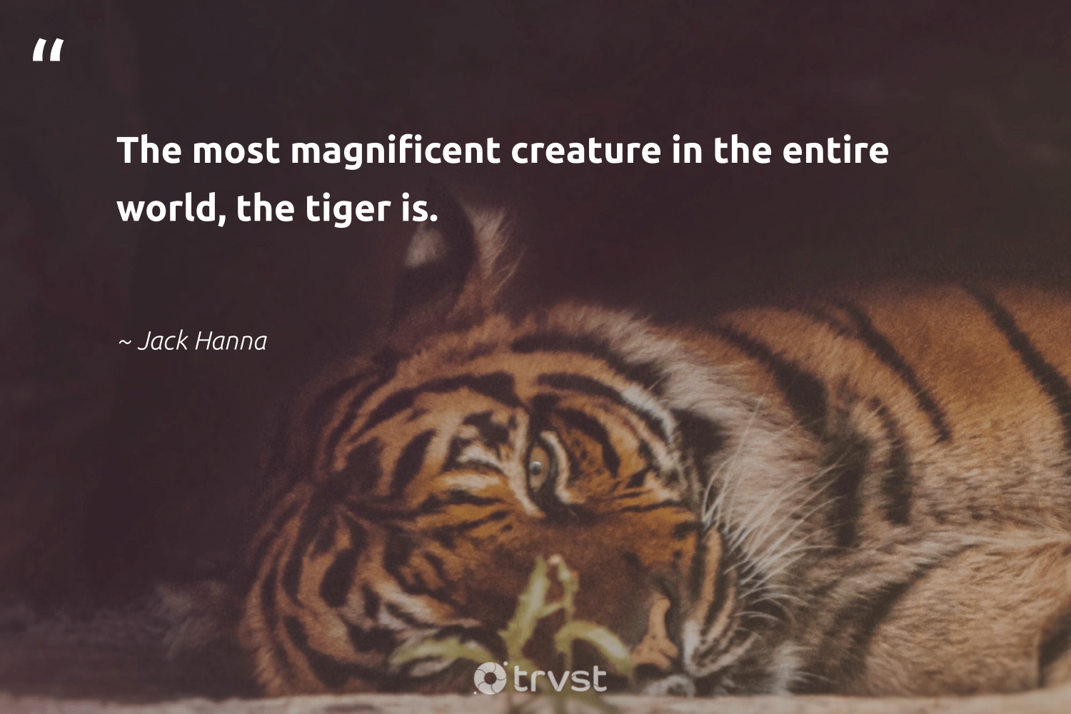 """The most magnificent creature in the entire world, the tiger is.""  - Jack Hanna #trvst #quotes #tiger #tigers #gogreen #protectnature #collectiveaction #majesticwildlife #dosomething #ourplanetdaily #socialimpact #amazingworld"