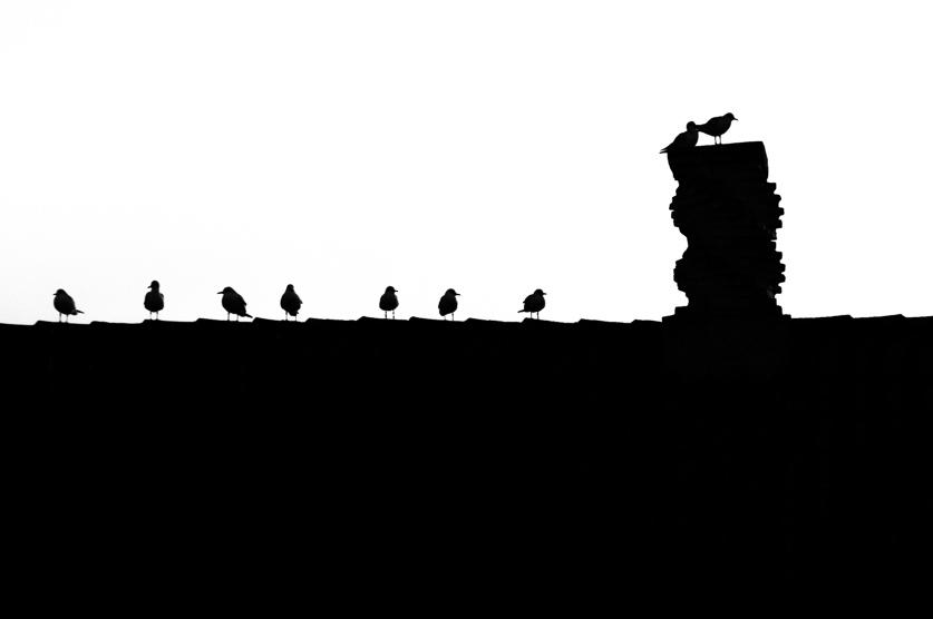 En flok hættemåger sidder på et tag. Sekundet efter jeg tog billedet blev de jaget bort af nogle bølle-hættemåger.