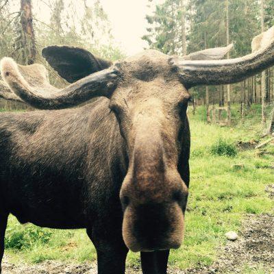wildtiere beobachten Schweden