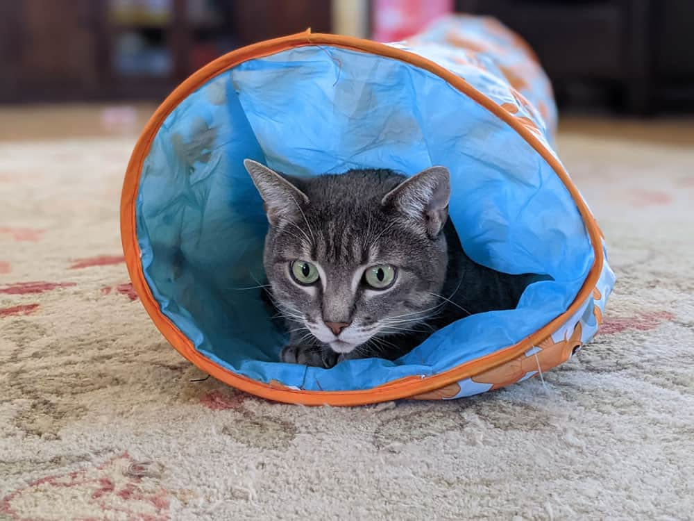 A gray tabby looking out from a cat play tunnel.