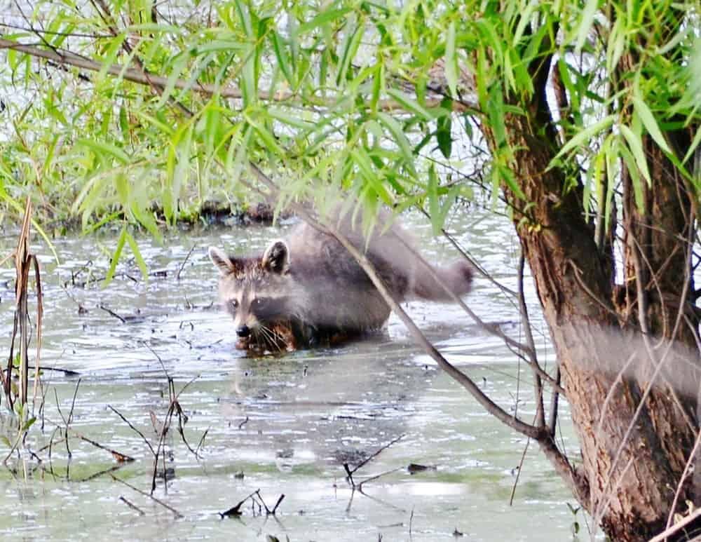 Raccoon in the water.