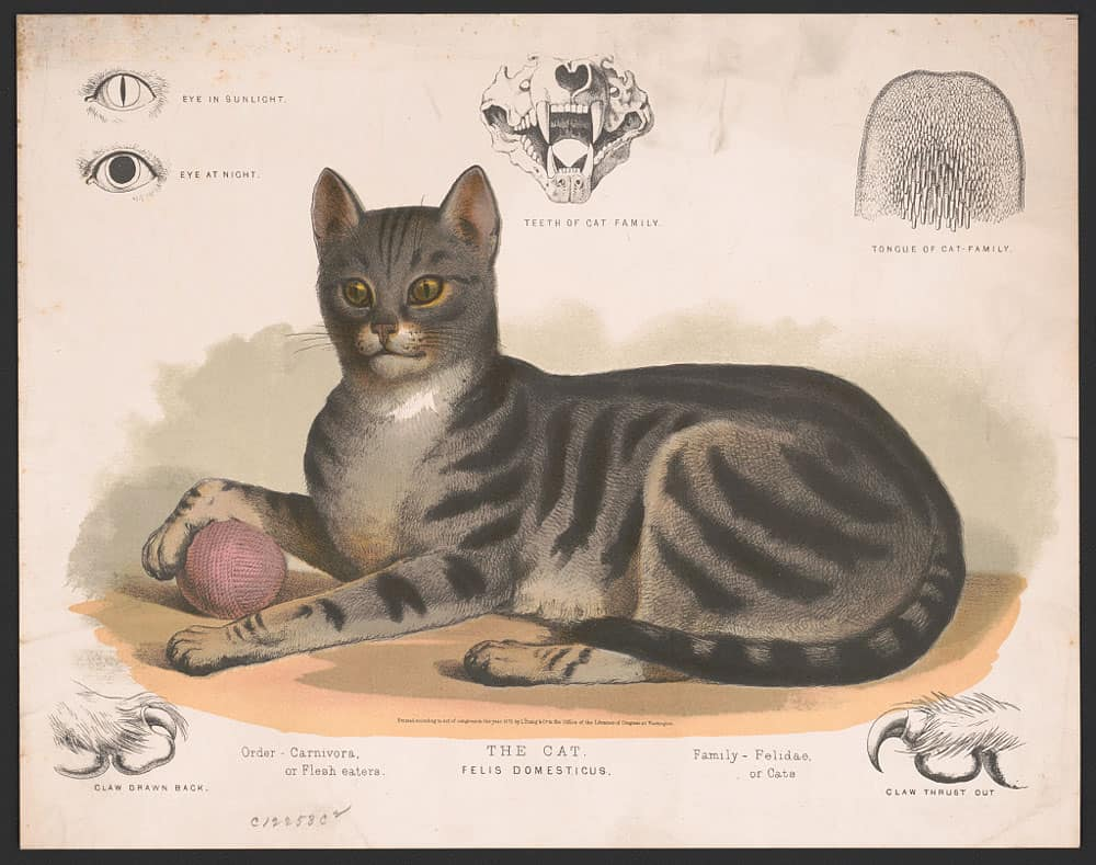 A print showing a classic tabby.  The cat – Felis domesticus. L. Prang & Co., 1872.  Prints & Photographs Division, Library of Congress, public domain.