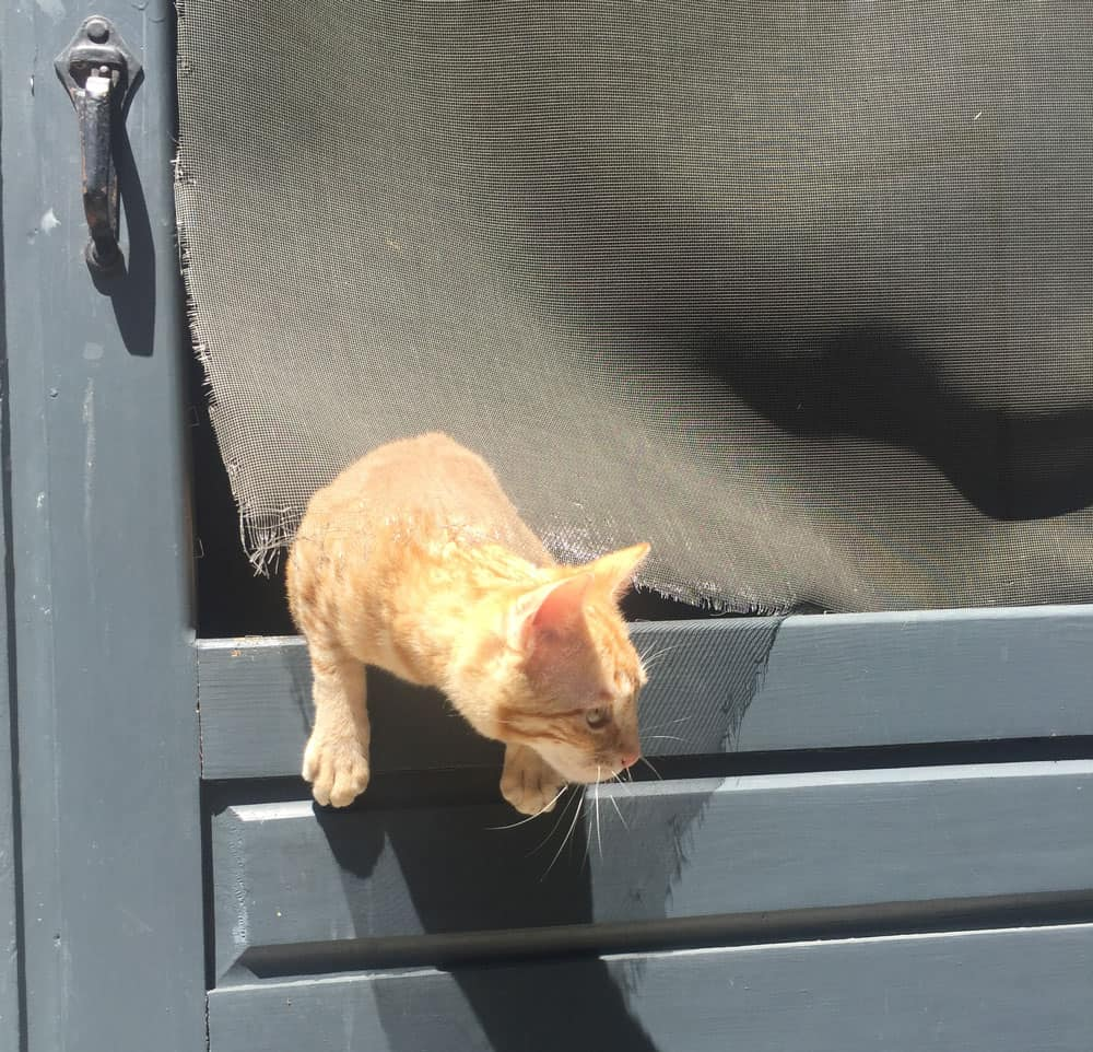 An orange tabby escaping through the ripped screen of a back door.