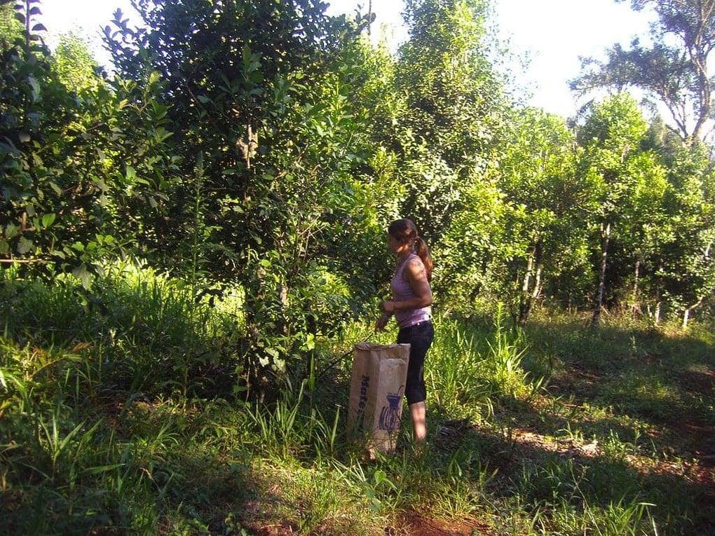 Frau bei der Ernte vom Bio Tee Wilde Mate. Grüne Umgebung mit Mate Bäumen. Vor der Frau steht ein großer Erntebehälter aus Pappe