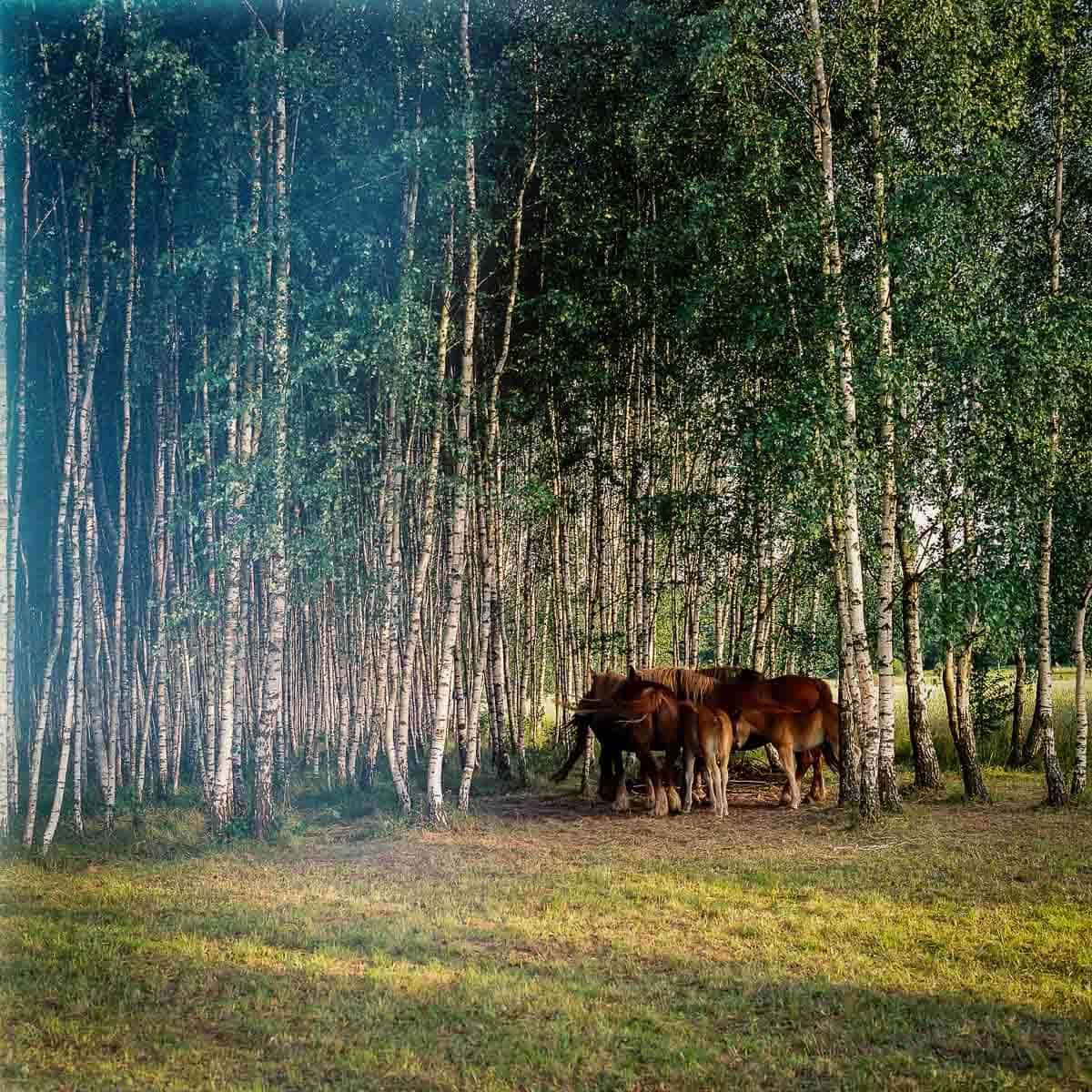 Przewalski-Pferde Film: Fuji Pro 400 H