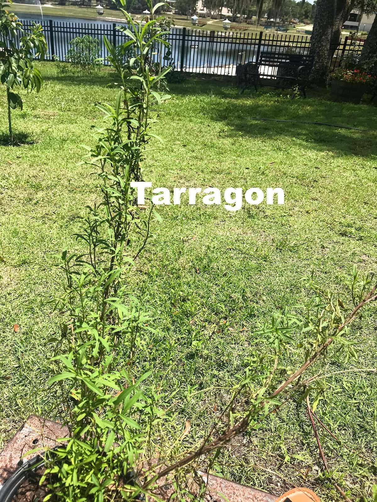 tarragon plant in my garden in a pot