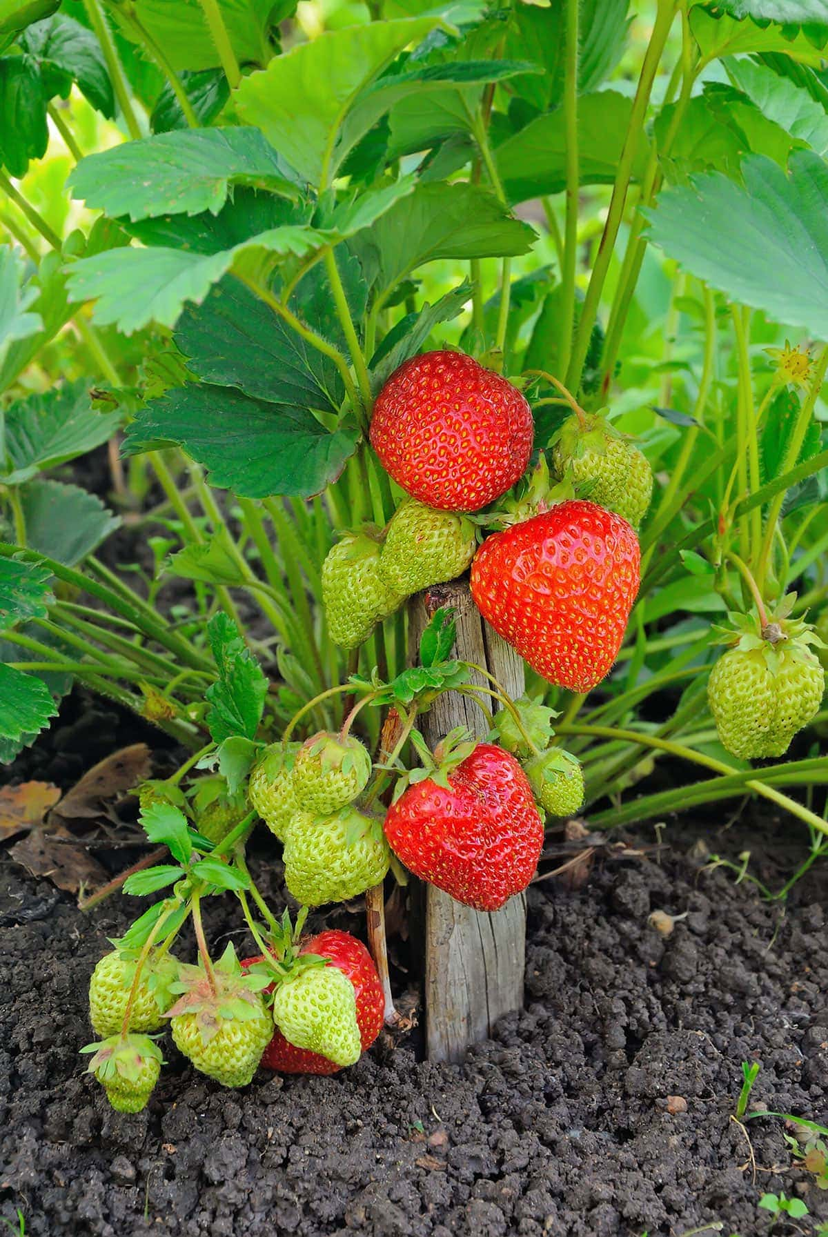 strawberry plant with fruits