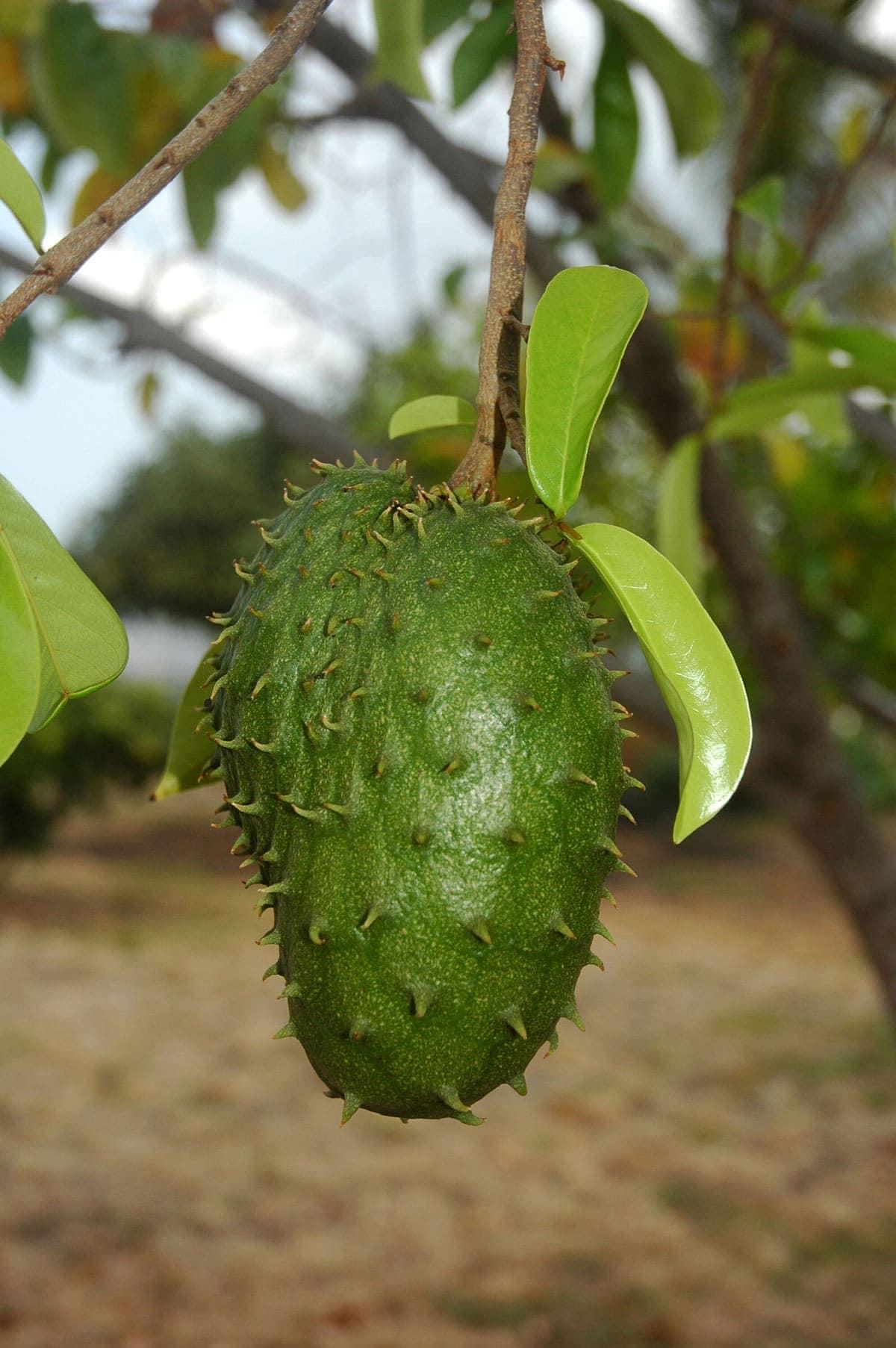 soursop on a tree