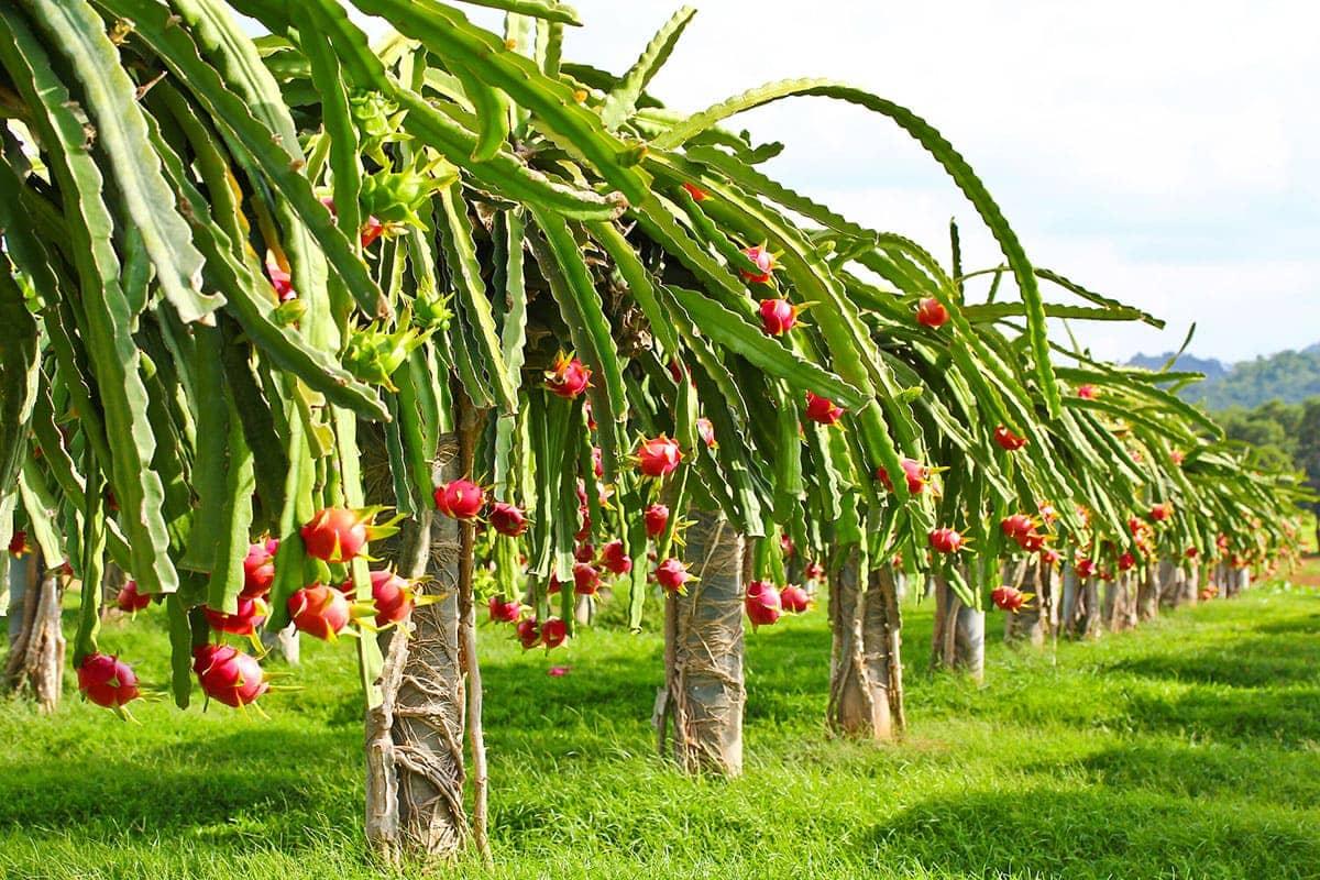Golden dragon fruit tree slayers gourry gold dragon