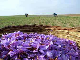 consuegra_saffron_flower