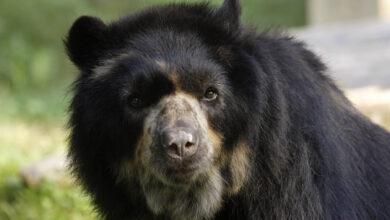 Photo of Hacen un llamado a proteger el oso andino y su hábitat natural