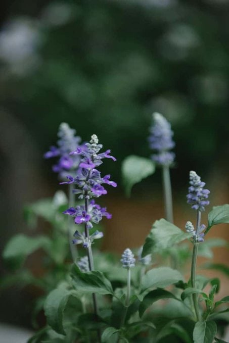 Flowers of a sage plant