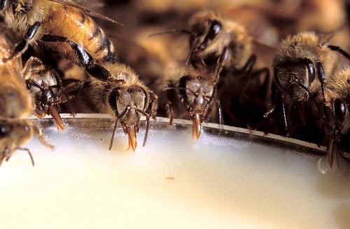 Feeding Bees Sugar Water