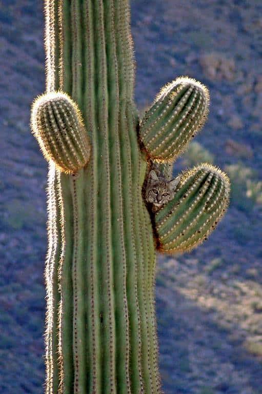 A bobcat sits nestle on the arm of a Saguaro cactus.  Organ Pipe Cactus National Monument.  NPS photo, public domain.