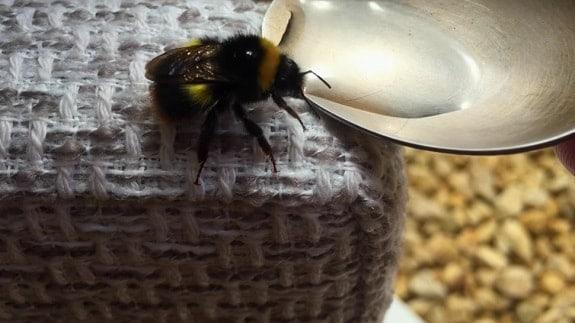 Spoon Feeding a Bee Sugar Water