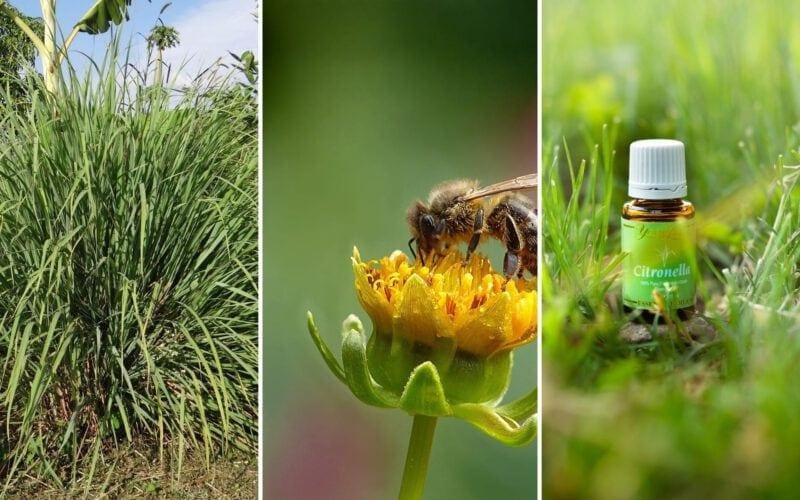 Citronella-Pflanze, Biene, ätherisches Citronella-Öl von Young Living