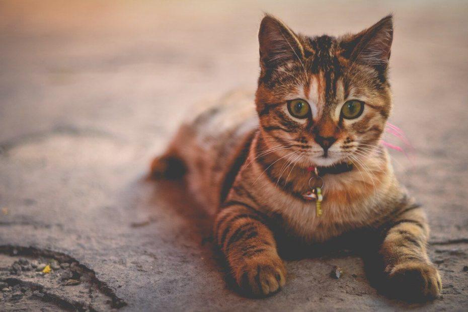 comment traiter l'asthme du chat