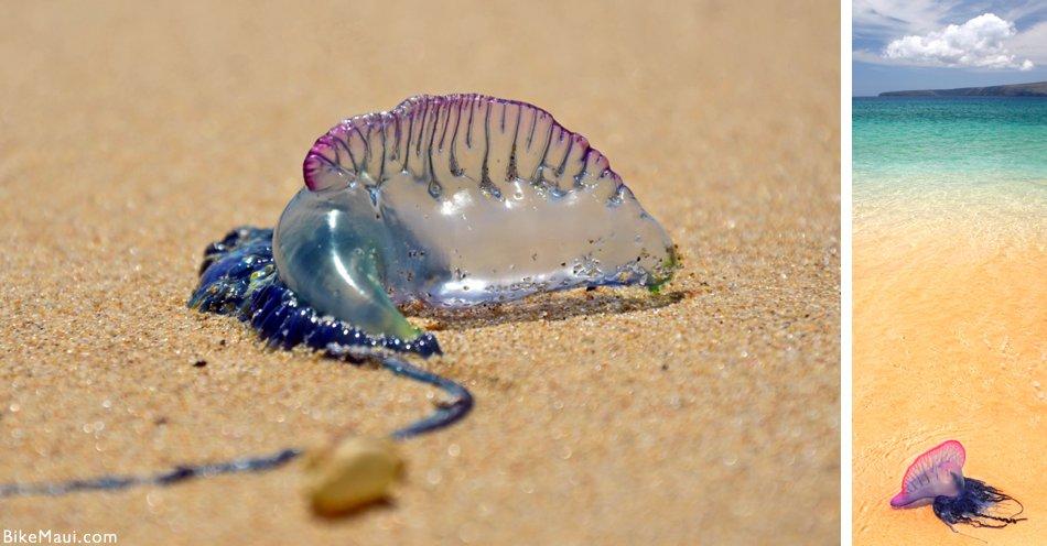 Portuguese Man-O-War (Bluebottle) on beach sand, Australia