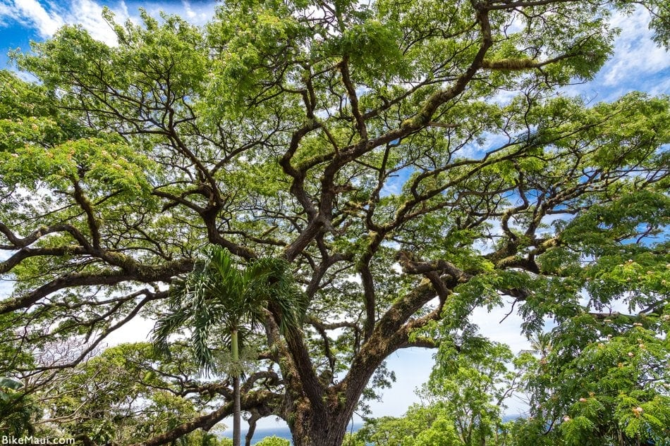 Monkeypod tree Maui