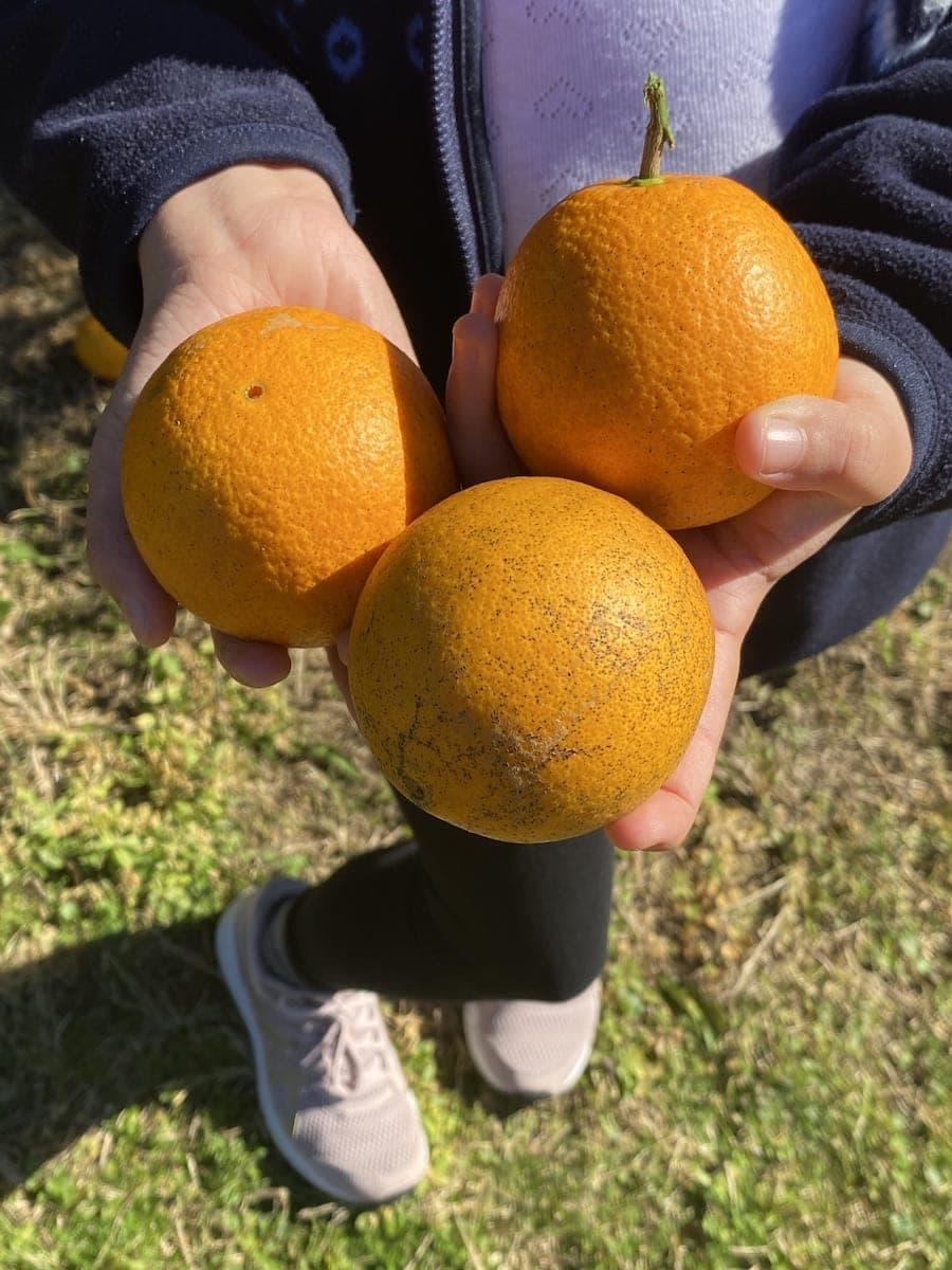 Pick Oranges Central Coast