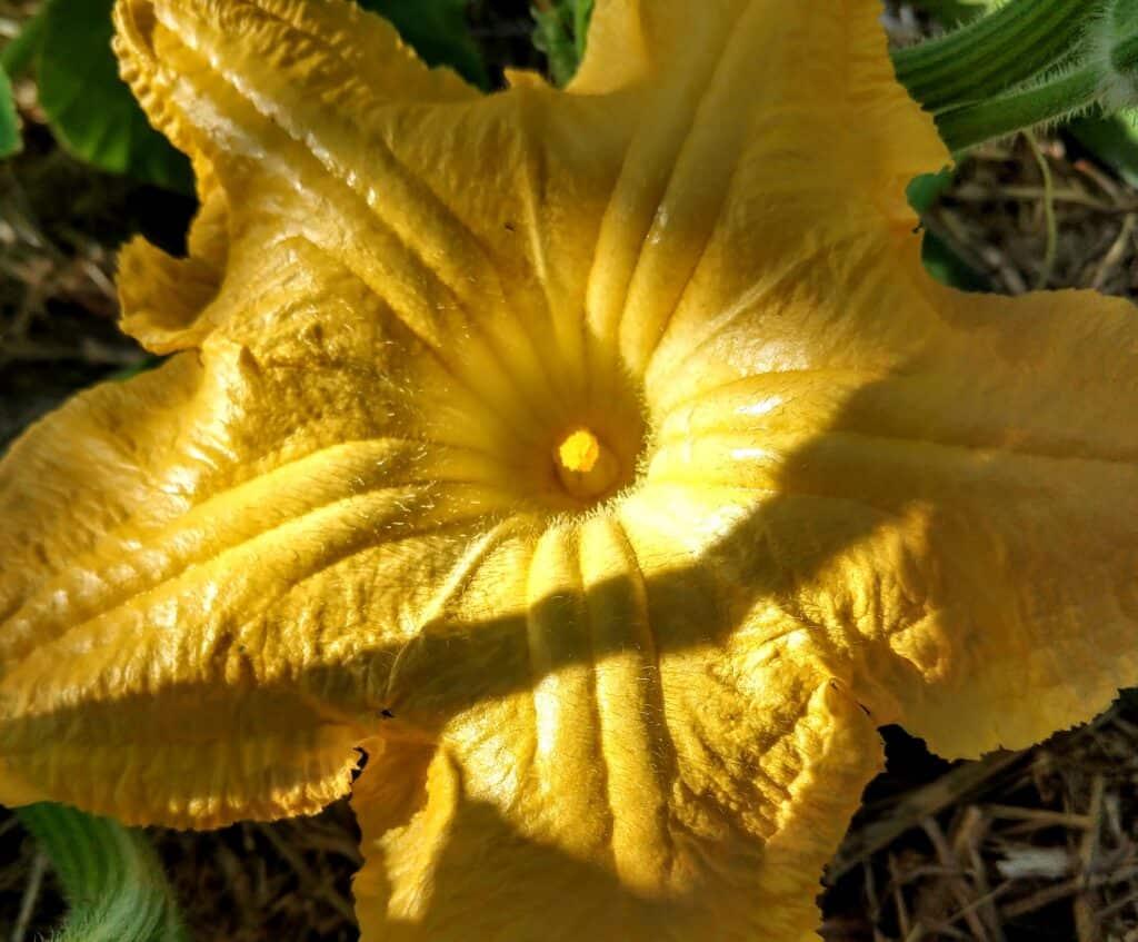 Pumpkin flowering in November in the tropics