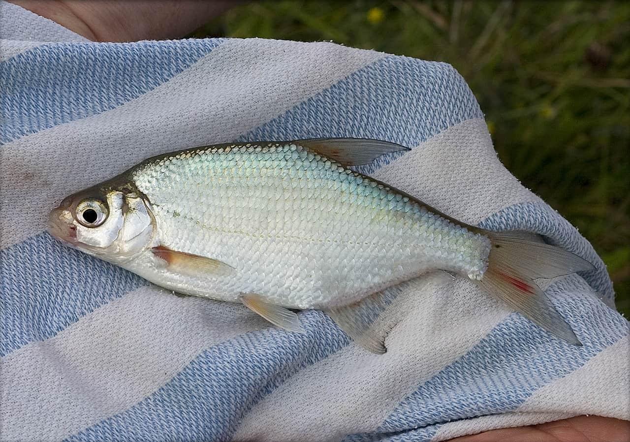 hazai halak hal fajták