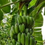 Tropical Garden in May bananas