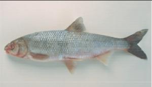 Védett halak gyöngyös koncér
