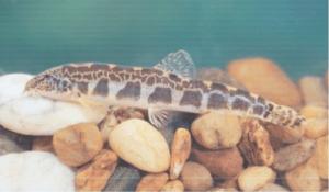 Védett halak törpe csík