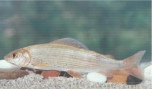 Védett halak pénzes pér