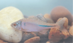 védett halak szivárványos ökle