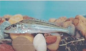 védett halak selymes durbincs