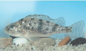 védett halak széles durbincs