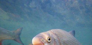 paduc horgászata