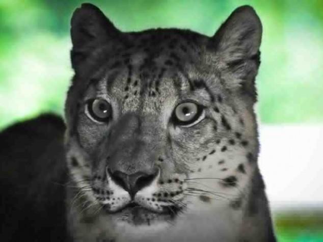 Léopard des neiges - Léopard des neiges - Photo nature