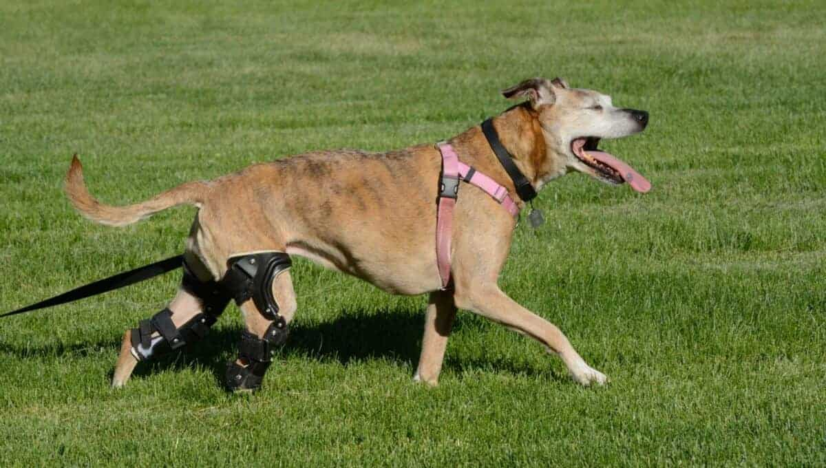 Degenerative myelopathy in dogs causes eventual paralysis beginning in the hind legs.