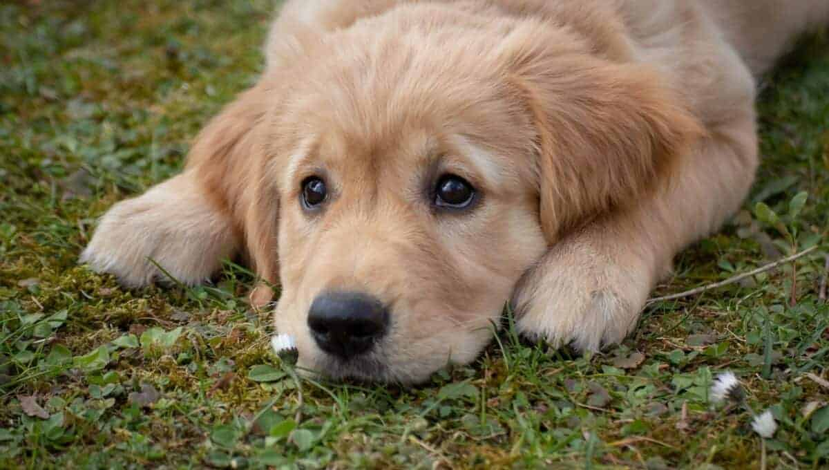 dog eye boogers can occur in dog's of any age