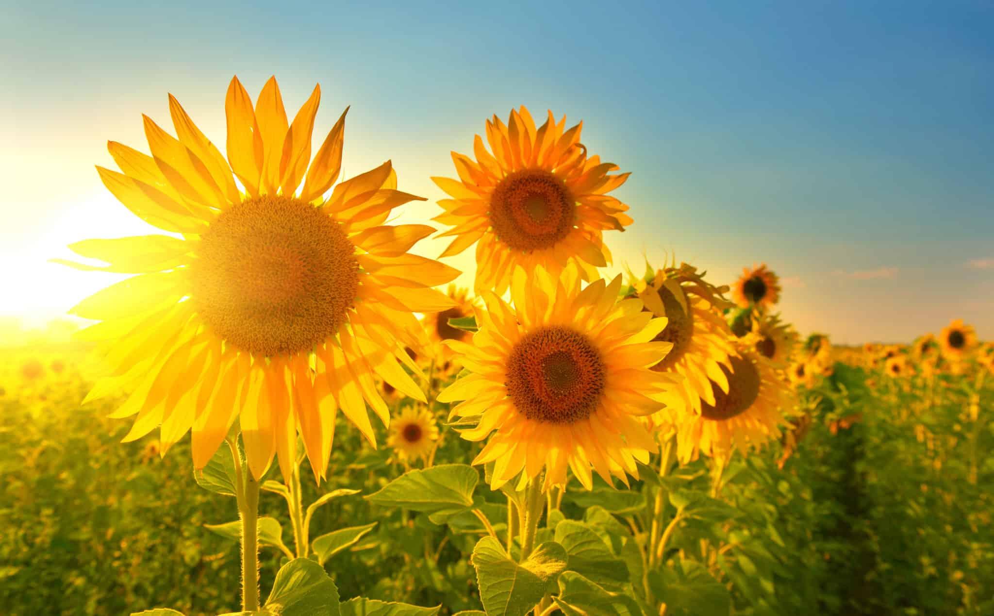 Beste Reisezeit: Sonnenblumen Feld im Juli